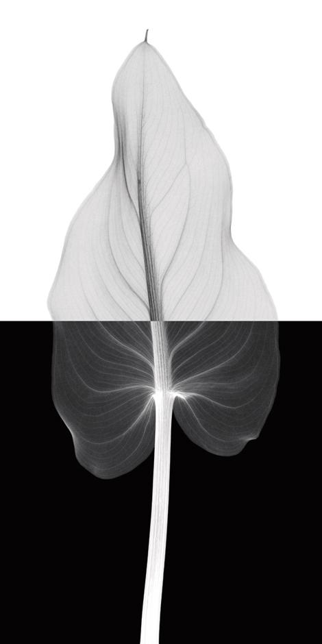 Calla Leaf II (Oversize)