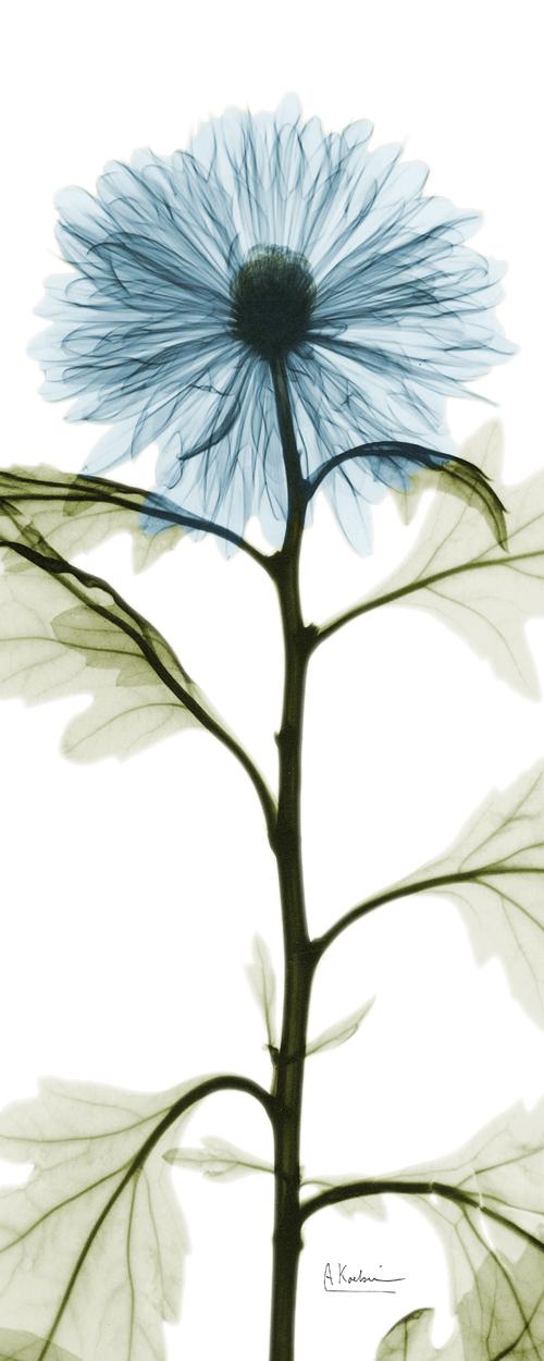 Long Blue Chrysanthemum
