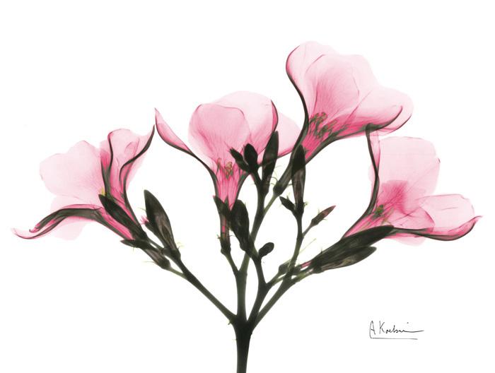 Pink Oleander Peace