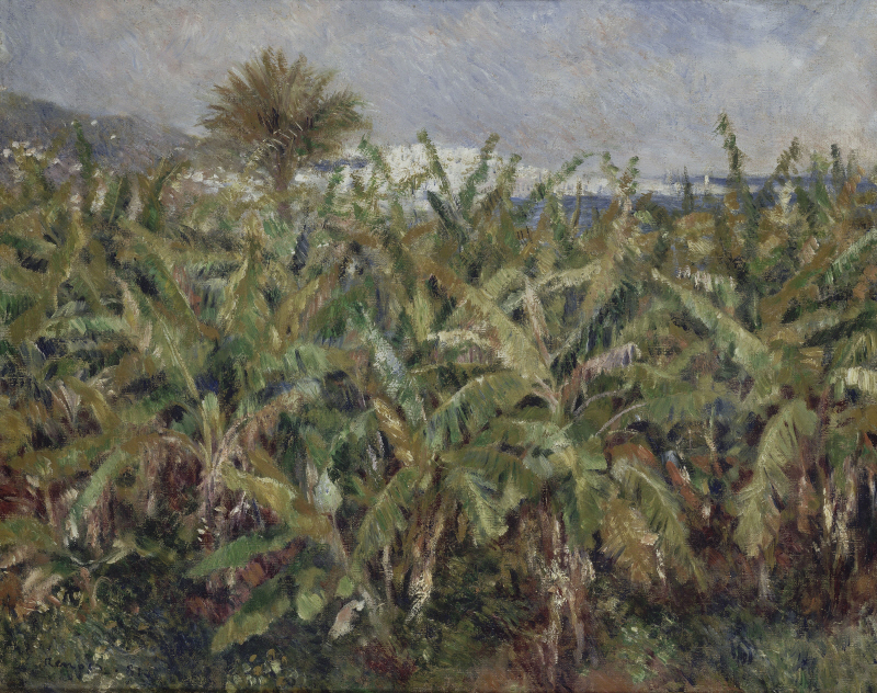Field Of Banana Trees