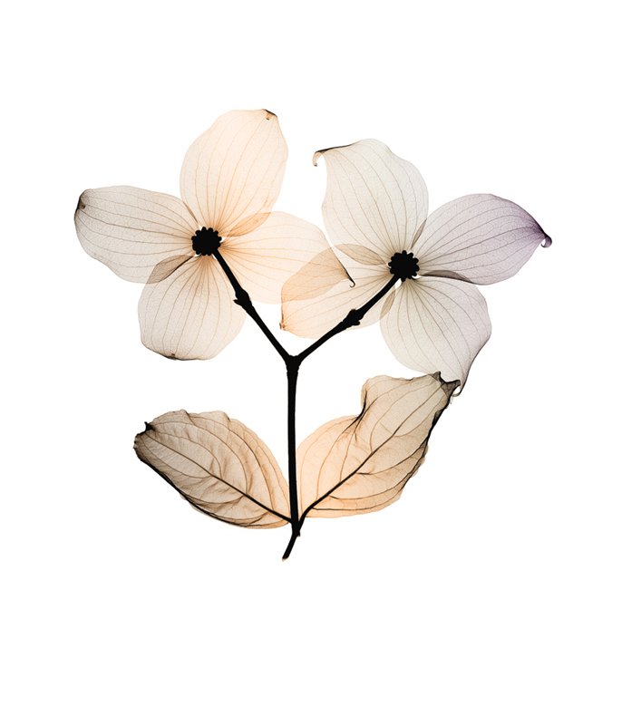 Dogwood (small)