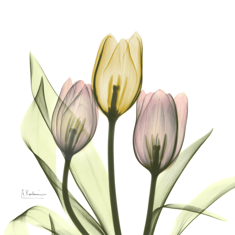 Tulip Love