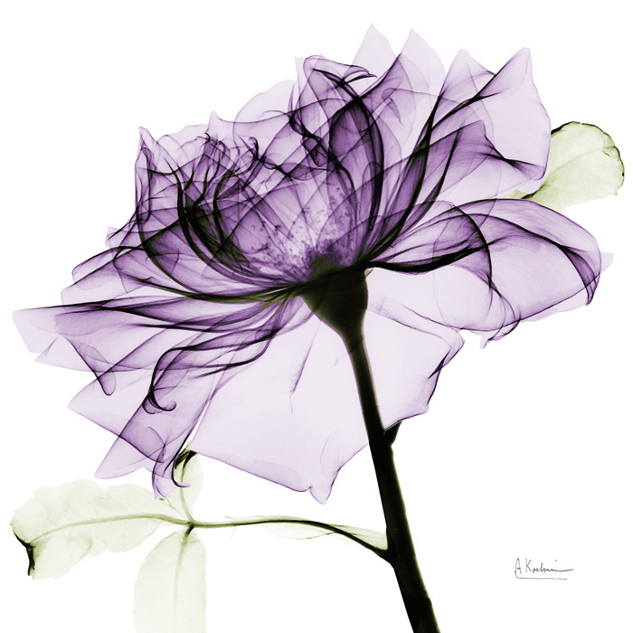 Purple Rose II