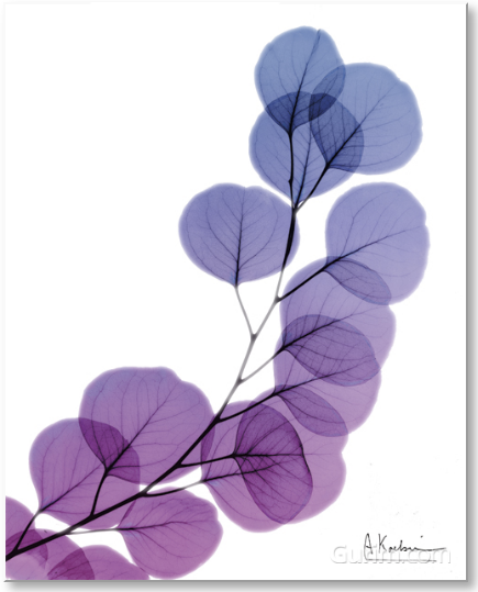 Eucalyptus in Purple