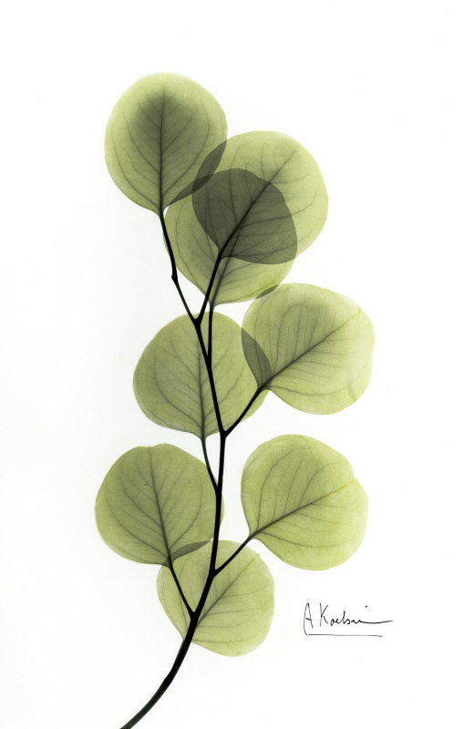 Eucalyptus L133