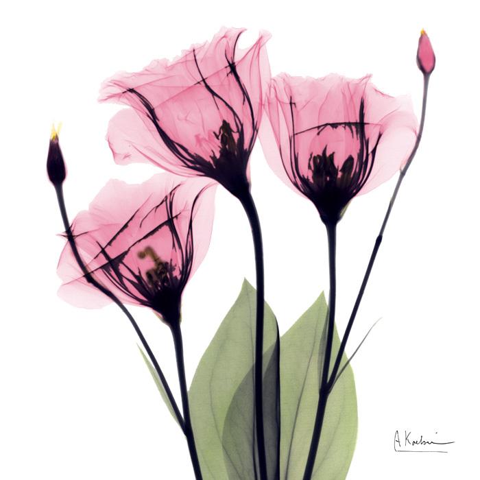 Pink Gentian