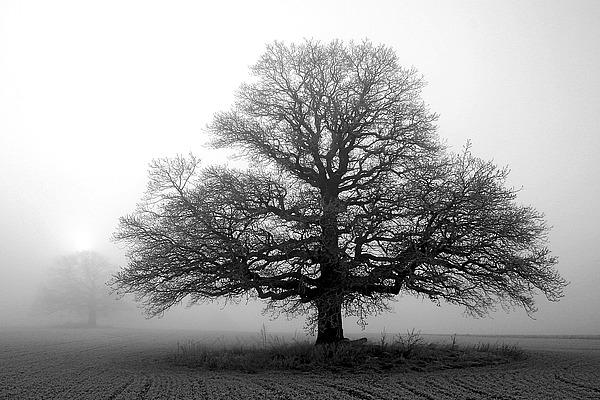 Tree in Mist II