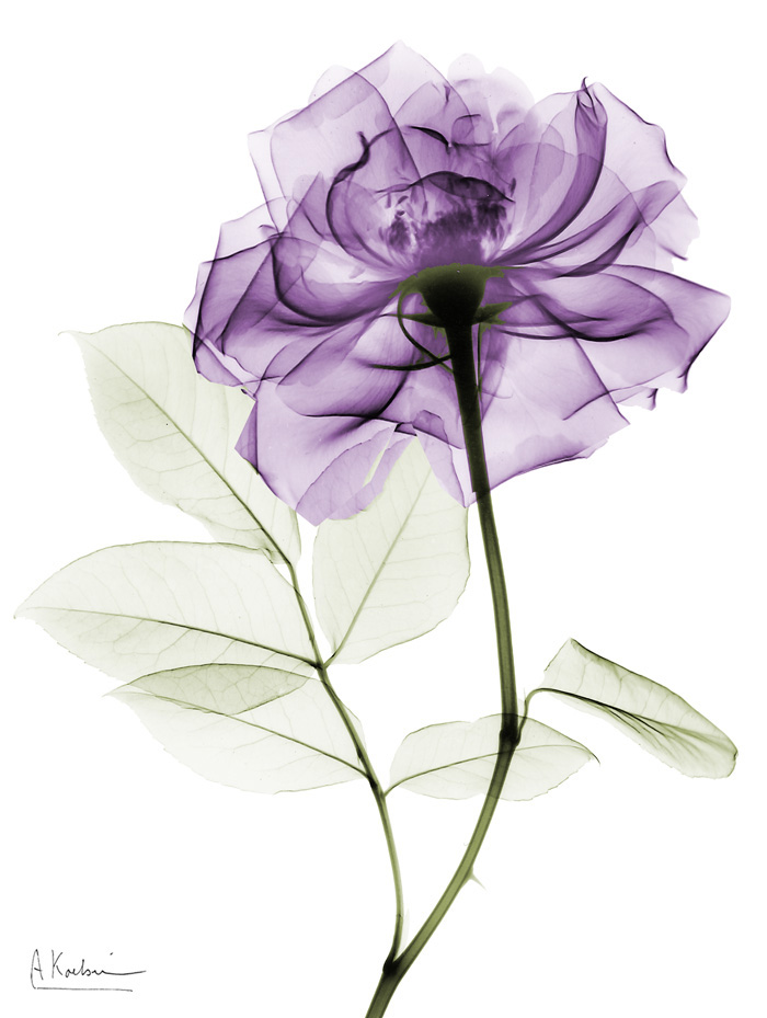 Purple Long Stem Rose II