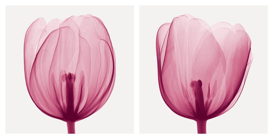 Tulips [Positive]