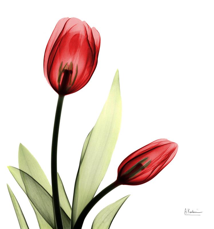 Be Still Tulip