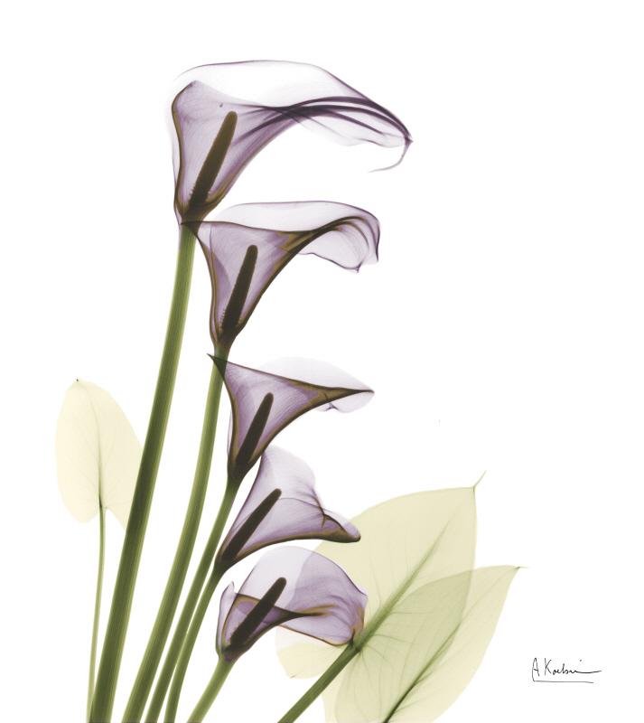 Calla Lilies Home