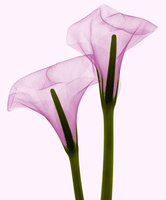 Two Callas Positive III