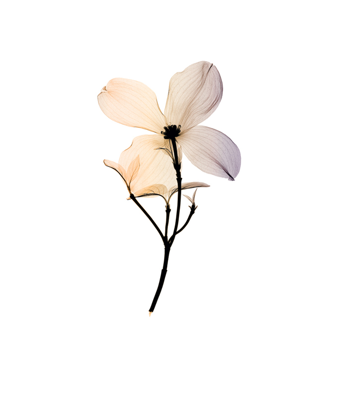 Dogwood II (small)