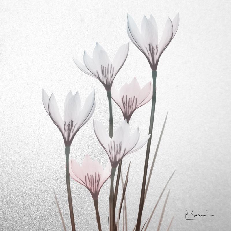 Beautiful White Rain Lily