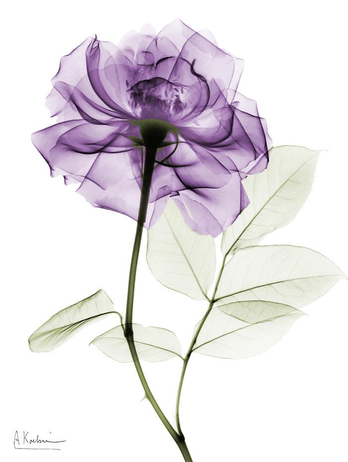 Purple Long Stem Rose I
