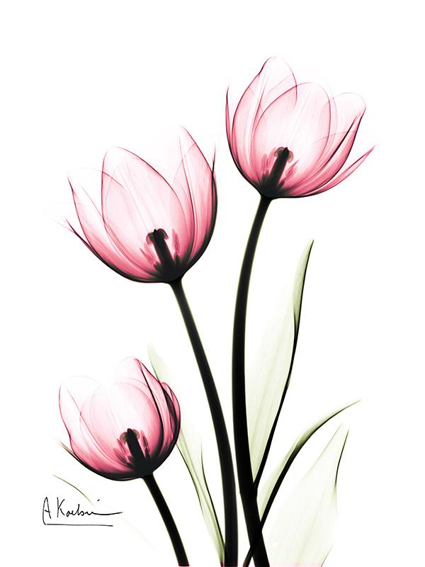 tulipsPINKC68