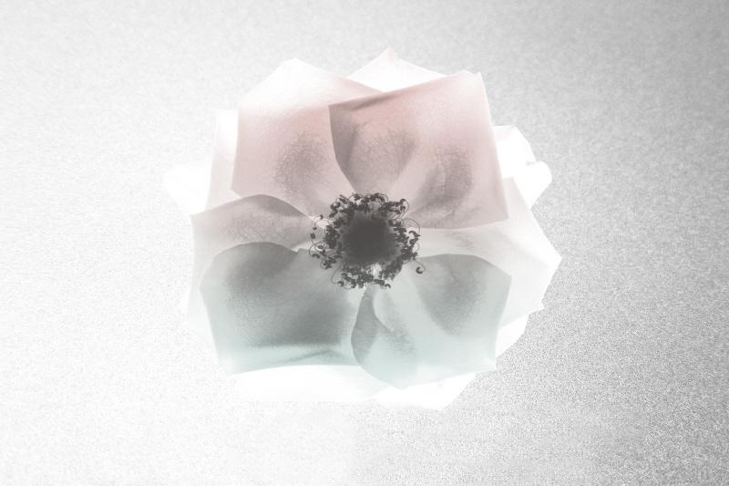 Rose Dreaming