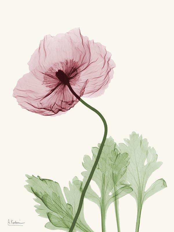 Dazzling Poppy II