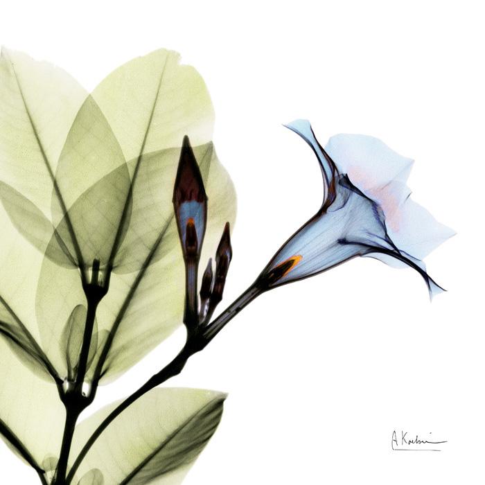 Blue Steel Mandelilla