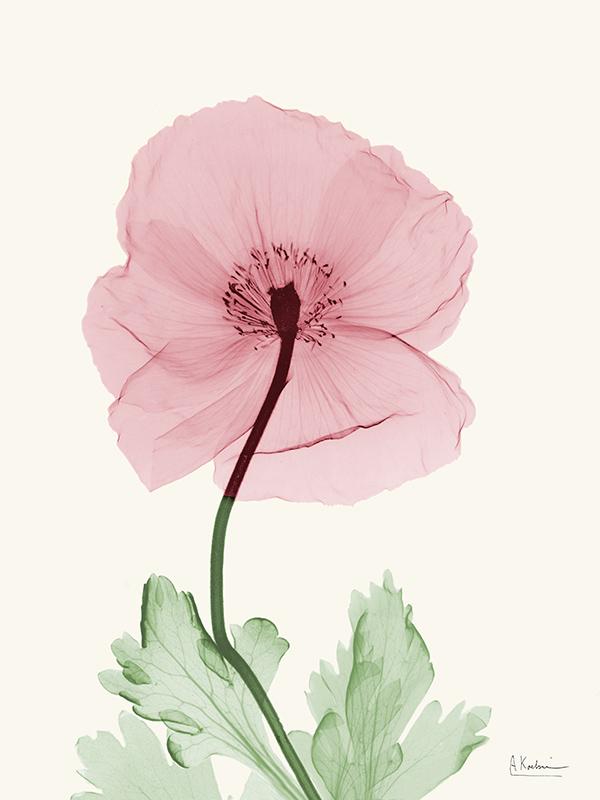 Dazzling Poppy I