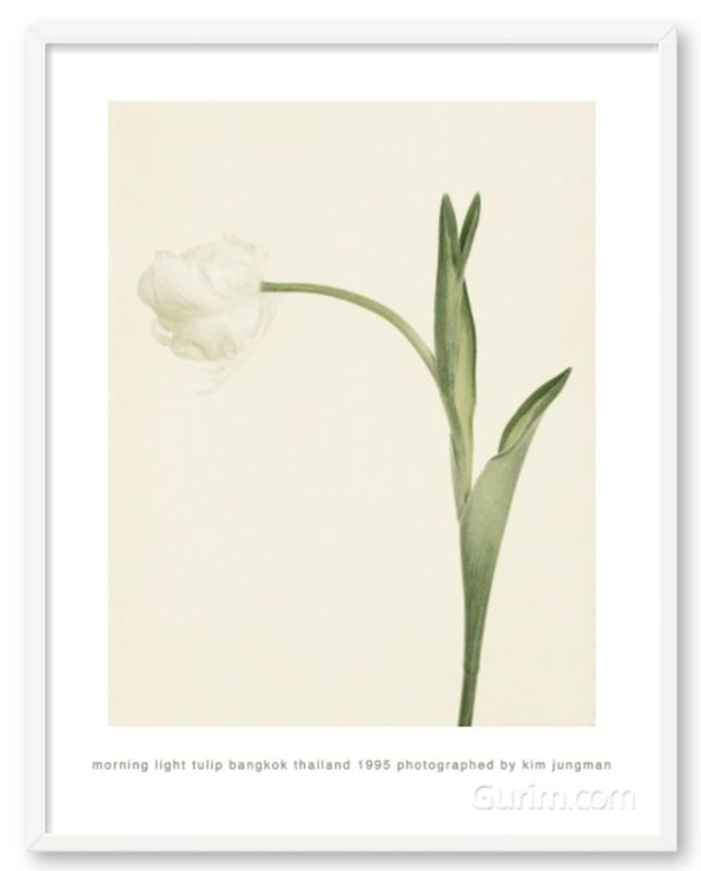 morning light tulip (bangkok thailand 1995)