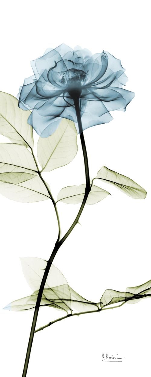 Long Blue Rose