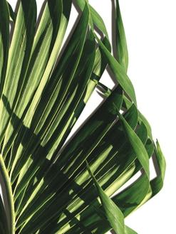 Leaf of Palm