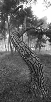 나에게 다가온 소나무 3