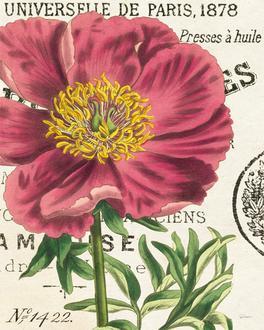 Peony Botany