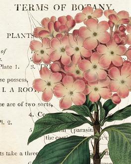 Bicolor Phlox Botany