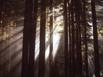 Sunlight Through the Woods I