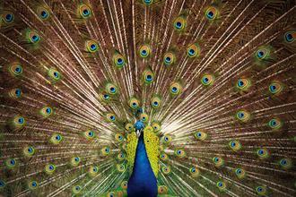 Proud as Peacocks II