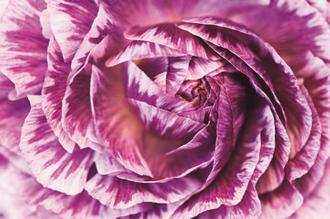 Ranunculus Abstract VI Color