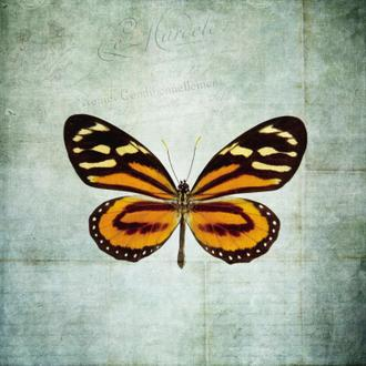French Butterfly VIII