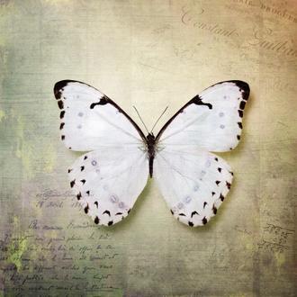French Butterfly II