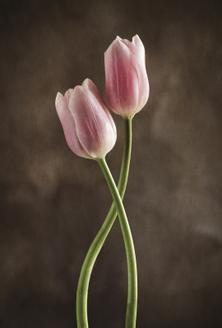 Spring Tulips V