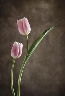 Spring Tulips IV