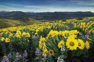 Methow Valley Wildflowers IV