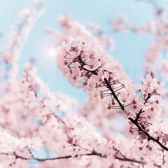 Cherry Blossom Clouds