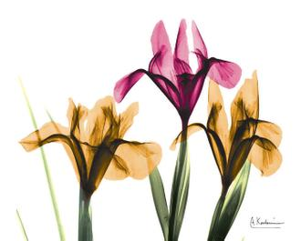 Iris Hmatted