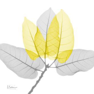 Ficus Burkey