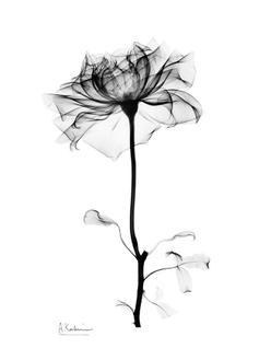 Gentle Rose I