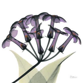 Grape Stephanotis