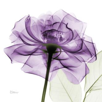 Purple Rose I