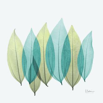 Coculus Leaf