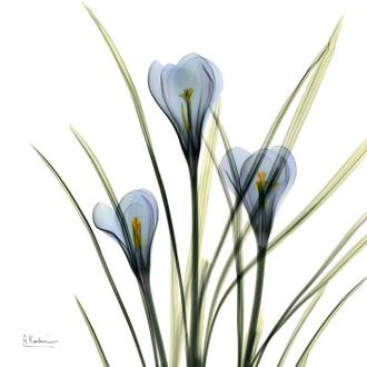 Blue Steel Crocus