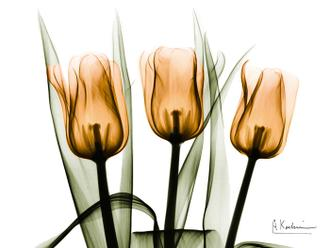 Three Tulips Orange