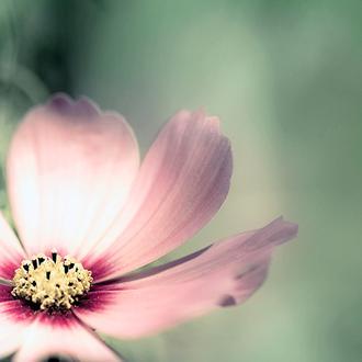 Pink Sosmo