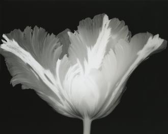 Big Blossom IV