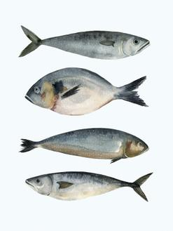 Four Fish II